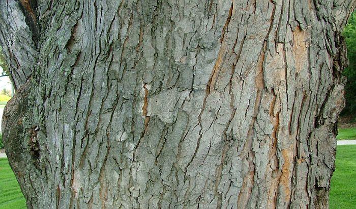 Prodali stablo javora za 10.000 evra