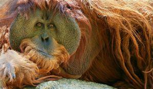 Primatima zbog ljudskog nemara preti istrebljenje