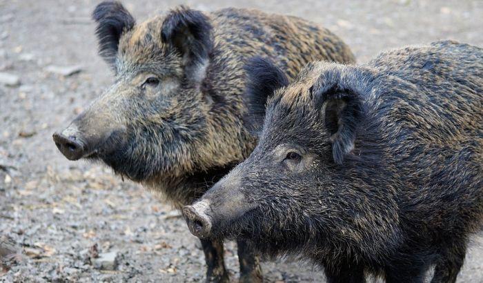 Krdo divljih svinja protutnjalo selom kod Kanjiže