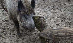 Sindikat srpske policije: Slučaj divljih svinja kao ogledalo rada MUP-a