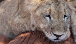 Džoger naišao na lava usred Holandije