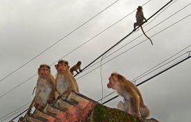 Indijac preminuo nakon što su majmuni na njega srušili cigle