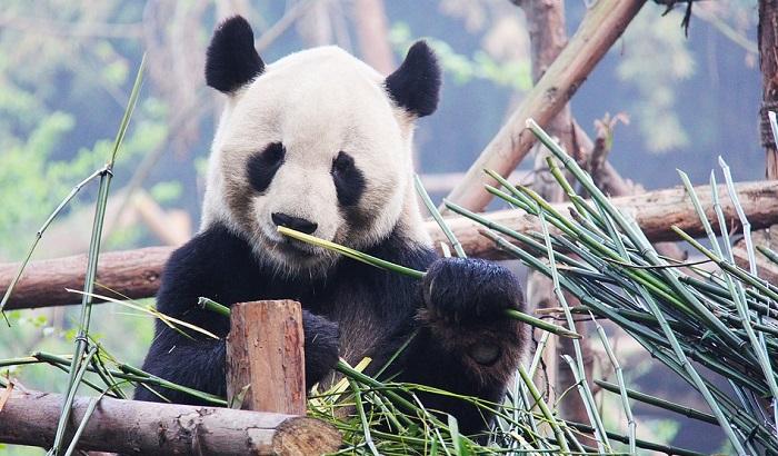 Beba panda najveća atrakcija zoološkog vrta u Francuskoj