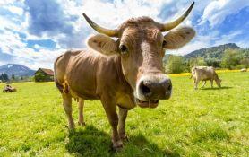 Krave sadrže potencijalni lek za HIV?
