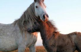 Daju po 1.000 dolara onome ko usvoji divljeg konja
