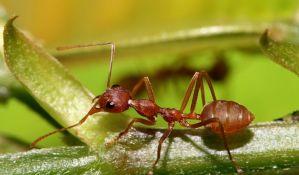 Kazna od 40.000 dinara za ubistvo riđeg šumskog mrava