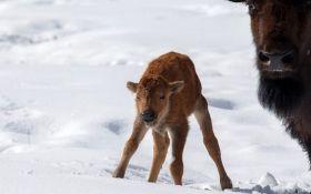 Posle 140 godina rođen bizon u nacionalnom parku u Kanadi