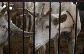 Albanija počinje da izvozi ovce i koze u Srbiju