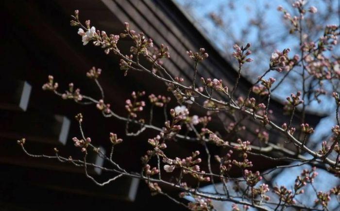 Cvetanje trešnje označilo početak proleća u Japanu