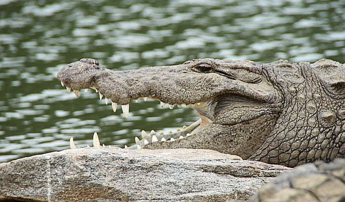 Fudbalera ubio krokodil tokom treninga