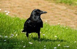Vrane će čistiti zabavni park u Francuskoj