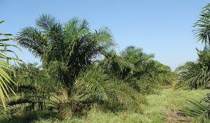 Potražnja za palminim uljem uništava svetske šume