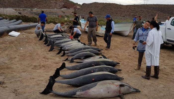 Desetine delfina nasukano na obali Meksika