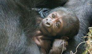 Gorilu morao da porodi tim lekara