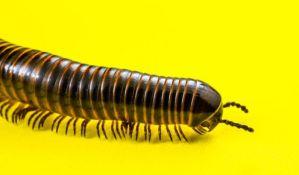 Iz nosa Novosađanke izvadili pseudoparazita sa 750 nožica