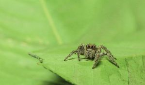 U Evropu iz Azije dolaze sve veći paukovi