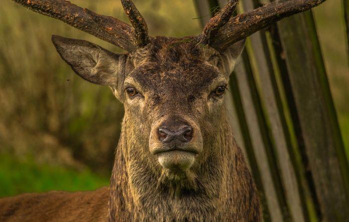 Pijani jelen demolirao kuću u Stokholmu