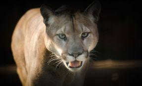 Puma napala bicikliste u Sijetlu