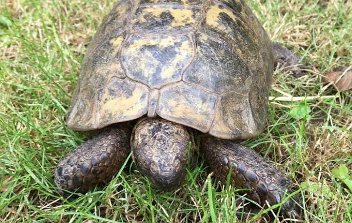 Mužjak kornjače prešao 10 kilometara da stigne do ženke u zoo vrtu