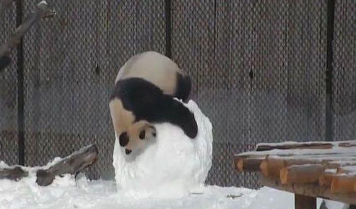 FOTO: Zoo vrt u Kopenhagenu pravi dom za pande vredan 20 miliona evra