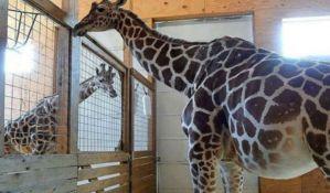 Rođenje male žirafe zoo vrtu doneo veliki prihod