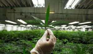 Objavljeni rezultati najobimnije studije o marihuani