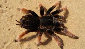 Prijedorčanin ima kolekciju od 98 tarantula