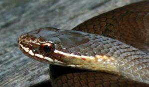 VIDEO: Kako jedna kap zmijskog otrova deluje na ljudsku krv