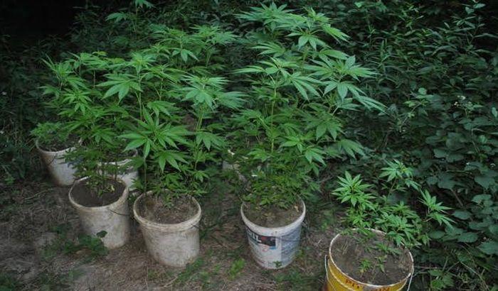 FOTO: Uhvaćen u sopstvenoj bašti marihuane kraj Novog Sada