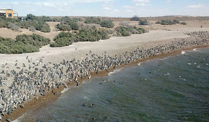 VIDEO: Milion pingvina na obalama Argentine