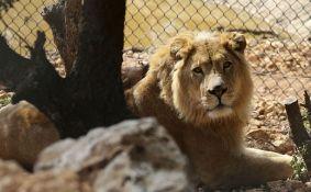 VIDEO: Dva lava spasena iz ratnih zona idu u Južnu Afriku