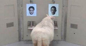 VIDEO: Ovce mogu da prepoznaju ljudska lica s fotografija