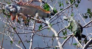 Iguane preplavile Floridu, lokalci će morati da počnu da ih jedu