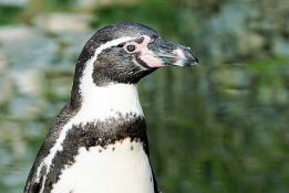 Čile odbio milijardu dolara vredan projekat da zaštiti pingvine