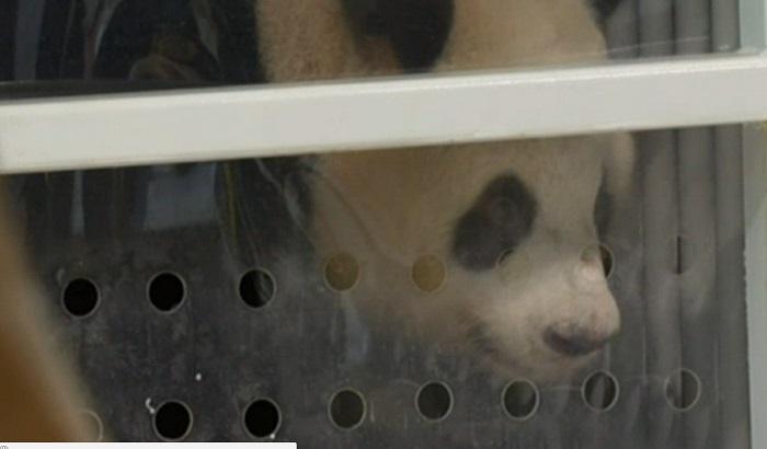 FOTO: Džinovske pande stigle u berlinski zoo vrt iz Kine