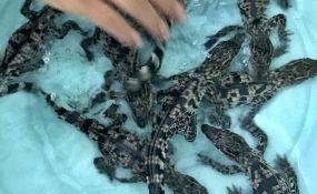 Izleglo se devet beba ugroženih krokodila