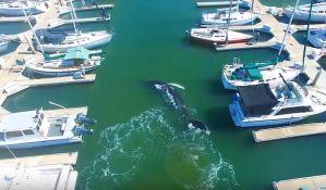 VIDEO: Ugrožena vrsta kita zalutala u marinu