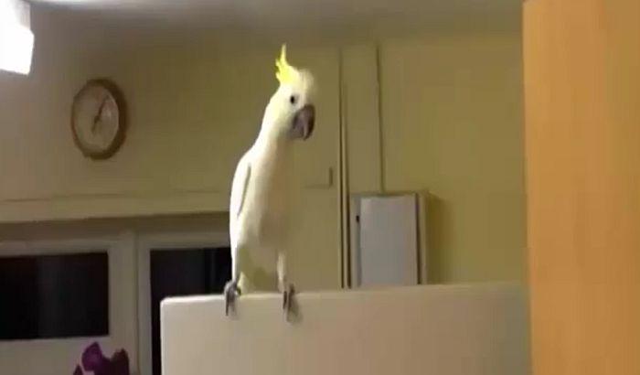 VIDEO: Neverovatni plesni pokreti papagaja