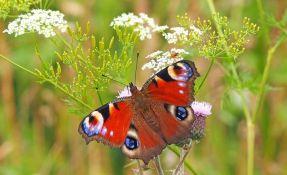 I ove godine Britanci broje leptire