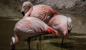 Tropske vrućine podstakle andske flamingose da izlegu jaja