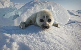 Masovno uginuće foka u Rusiji