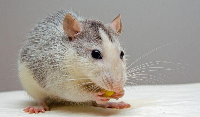 Novi Zeland planira da pobije sve pacove