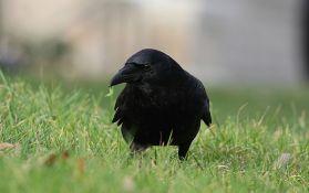 Holanđani treniraju vrane da skupljaju opuške sa ulica