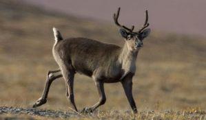 Izumiru morževi i karibui u delu Arktika