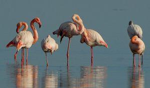 Zašto flamingosi stoje na jednoj nozi?