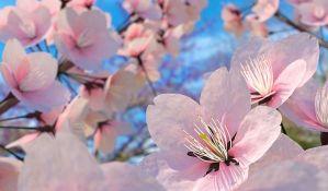 Počela sezona cvetanja trešnje u Japanu
