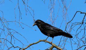 Dostava pošte prekinuta zbog agresivne vrane
