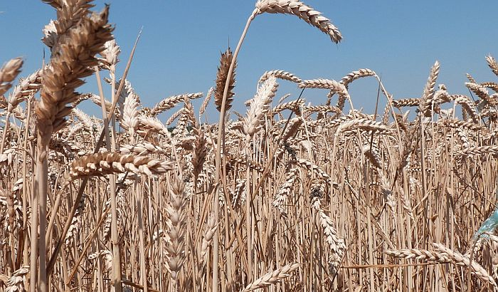 Neophodno povećati prinose pšenice