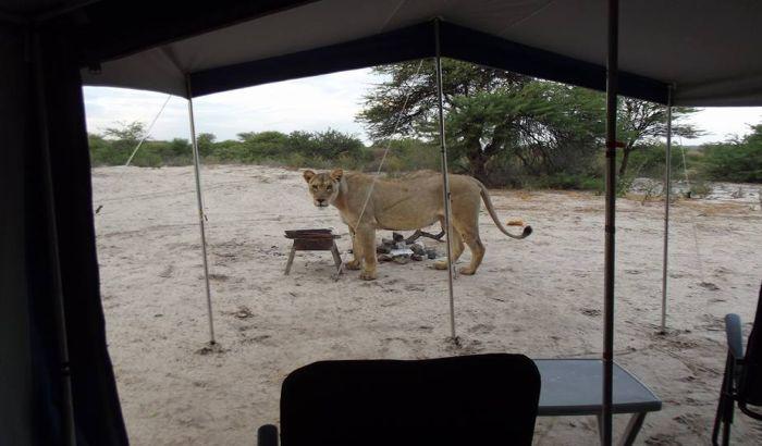 VIDEO: Lavica priredila šok tek probuđenim turistima u Africi