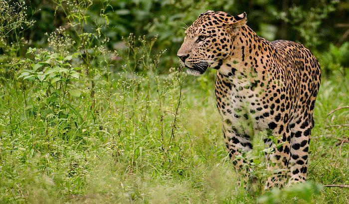Leopard upao u školu, najmanje šestoro povređenih